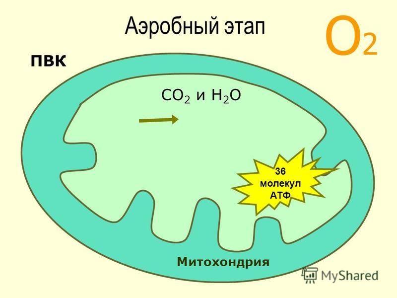 О2О2 Митохондрия ПВК СО 2 и Н 2 О 36 молекул АТФ Аэробный этап