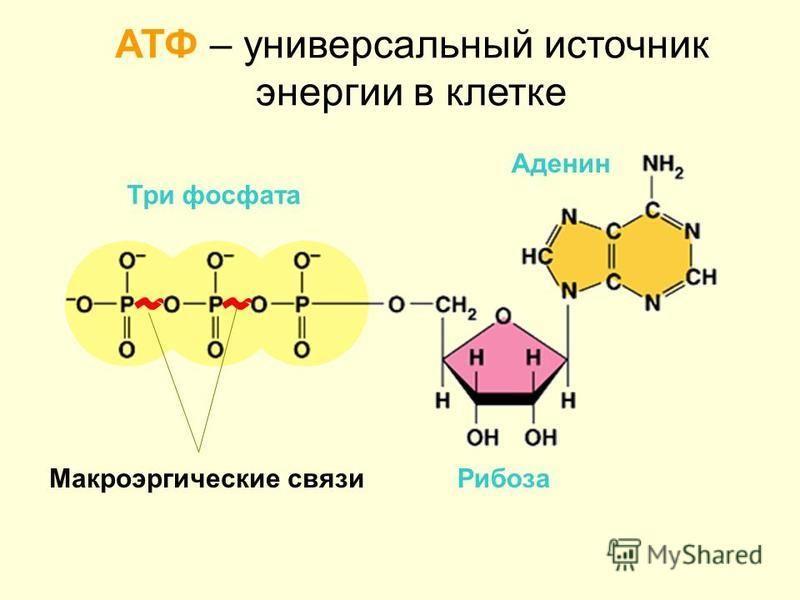 АТФ – универсальный источник энергии в клетке Аденин Рибоза Три фосфата Макроэргические связи