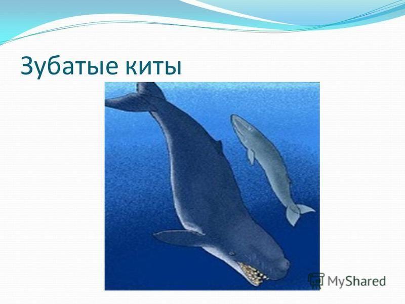 Зубатые киты
