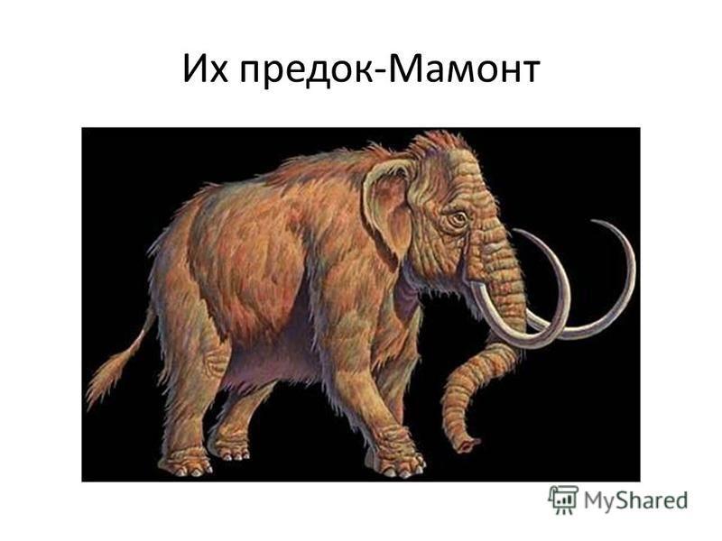 Их предок-Мамонт