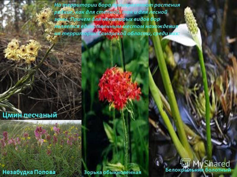 На территории бора произрастают растения редкие, как для степной, так и для лесной зоны. Причем для некоторых видов бор является единственным местом нахождения на территории Самарской области, среди них: Белокрыльник болотный Цмин песчаный Незабудка