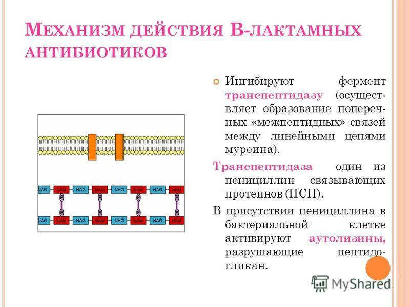 М ЕХАНИЗМ ДЕЙСТВИЯ В- ЛАКТАМНЫХ АНТИБИОТИКОВ Ингибируют фермент транспептидазу (осуществляет образование поперечных «меж пептидных» связей между линейными цепями муреина). Транспептидаза один из пенициллин связывающих протеинов (ПСП). В присутствии п