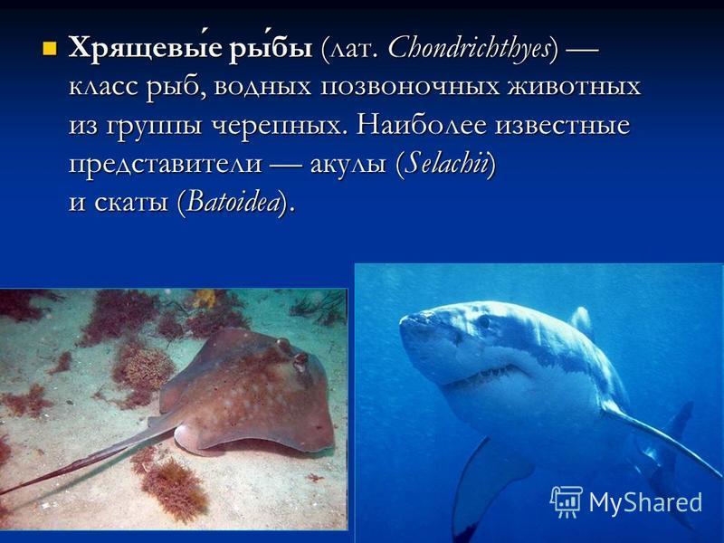 Хрящевые рыбы (лат. Chondrichthyes) класс рыб, водных позвоночных животных из группы черепных. Наиболее известные представители акулы (Selachii) и скаты (Batoidea). Хрящевые рыбы (лат. Chondrichthyes) класс рыб, водных позвоночных животных из группы
