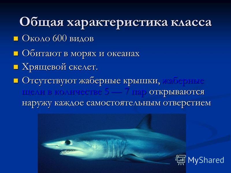 Общая характеристика класса Около 600 видов Около 600 видов Обитают в морях и океанах Обитают в морях и океанах Хрящевой скелет. Хрящевой скелет. Отсутствуют жаберные крышки, жаберные щели в количестве 5 7 пар открываются наружу каждое самостоятельны