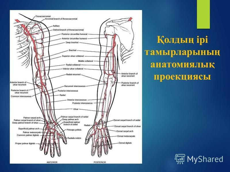 Қолдың ірі тамырларының анатомиялық проекциясы
