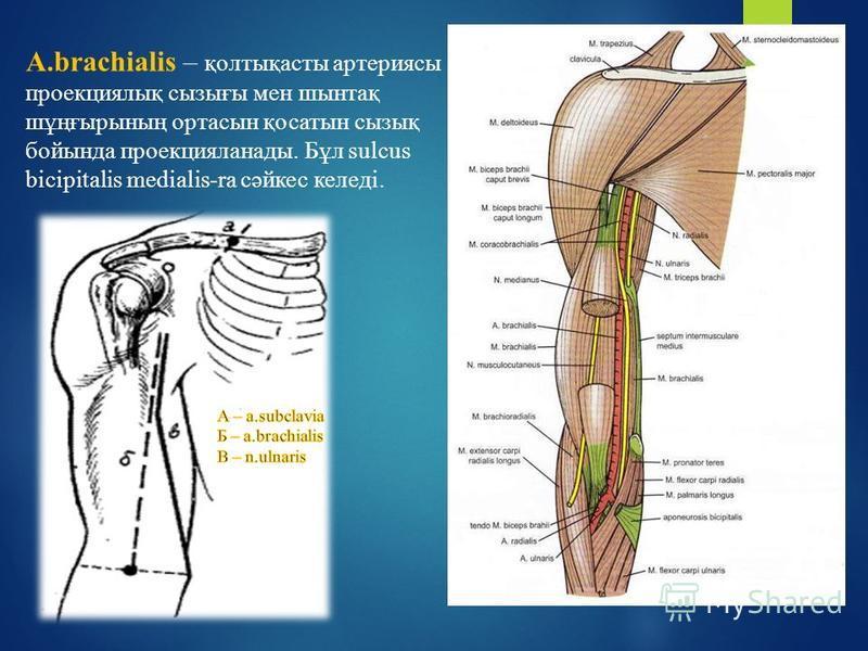 A.brachialis – қолтықасты артериясы проекциялық сигрығы мен шинтақ шұңғигрының орта сын қосалтын сигрық бойында проекцияланады. Бұл sulcus bicipitalis medialis-на сәйкес келеді.