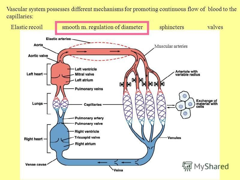 Vascular system possesses different mechanisms for promoting continuous flow of blood to the capillaries: Elastic recoil smooth m. regulation of diameter sphincters valves Muscular arteries