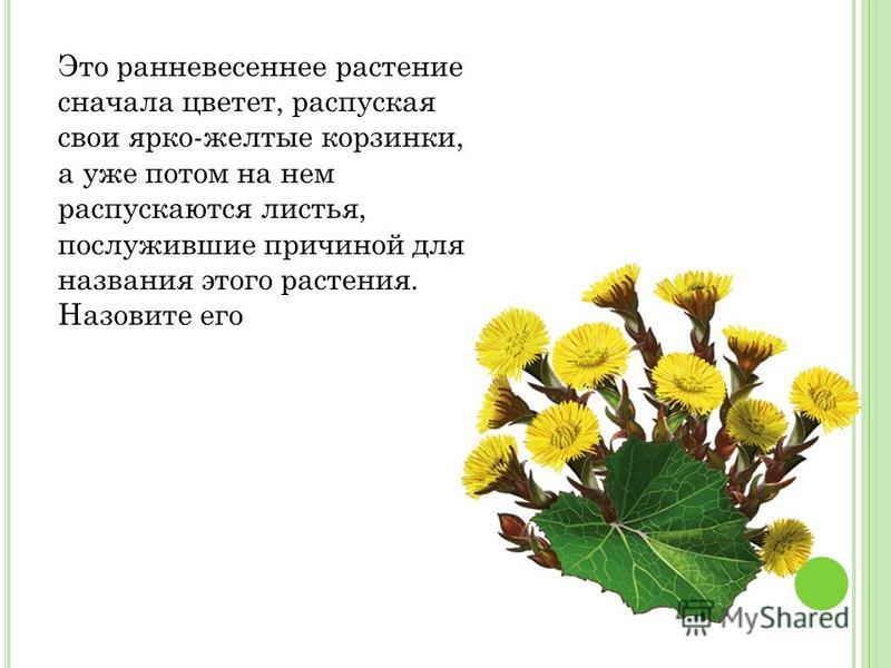 Это ранневесеннее растение сначала цветет, распуская свои ярко-желтые корзинки, а уже потом на нем распускаются листья, послужившие причиной для названия этого растения. Назовите его