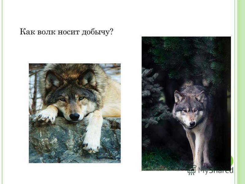 Как волк носит добычу?