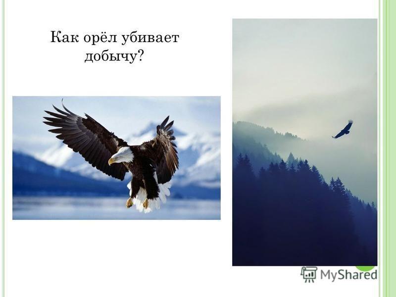 Как орёл убивает добычу?