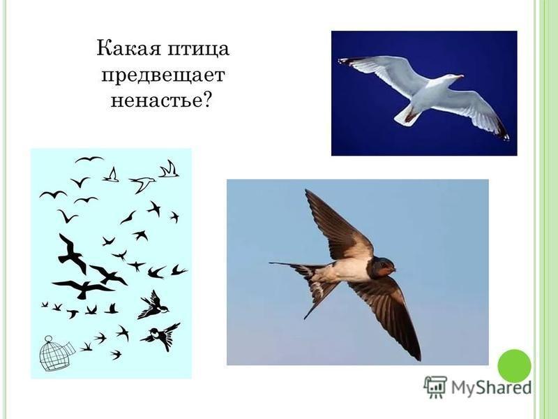 Какая птица предвещает ненастье?