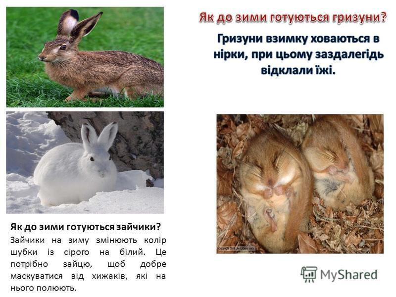 Як до зими готуються зайчики? Зайчики на зиму змінюють колір шубки із сірого на білий. Це потрібно зайцю, щоб добре маскуватися від хижаків, які на нього полюють.