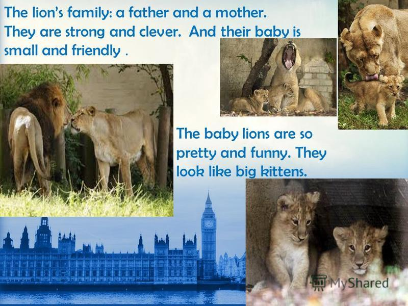 The lions family: a father and a mother. They are strong and clever. And their baby is small and friendly. The baby lions are so pretty and funny. They look like big kittens.