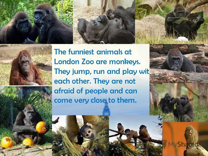 The funniest animals at London Zoo are monkeys. They jump, run and play with each other. They are not afraid of people and can come very close to them.