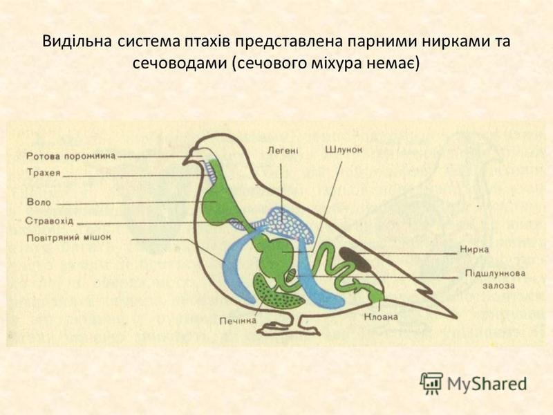 Видільна система птахів представлена парними нирками та сечоводами (сечового міхура немає)