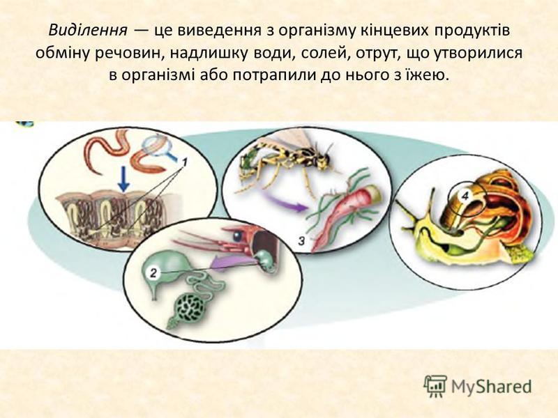 Виділення це виведення з організму кінцевих продуктів обміну речовин, надлишку води, солей, отрут, що утворилися в організмі або потрапили до нього з їжею.