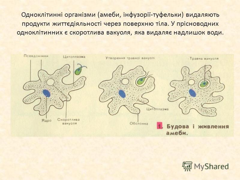 Одноклітинні організми (амеби, інфузорії-туфельки) видаляють продукти життєдіяльності через поверхню тіла. У прісноводних одноклітинних є скоротлива вакуоля, яка видаляє надлишок води.