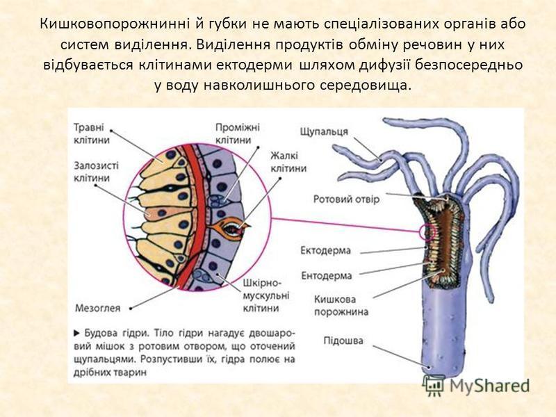 Кишковопорожнинні й губки не мають спеціалізованих органів або систем виділення. Виділення продуктів обміну речовин у них відбувається клітинами ектодерми шляхом дифузії безпосередньо у воду навколишнього середовища.