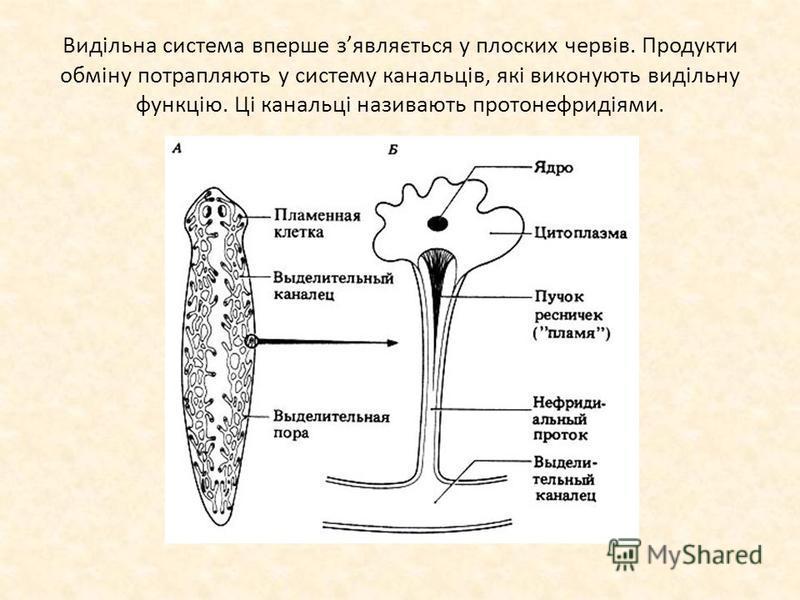 Видільна система вперше зявляється у плоских червів. Продукти обміну потрапляють у систему канальців, які виконують видільну функцію. Ці канальці називають протонефридіями.