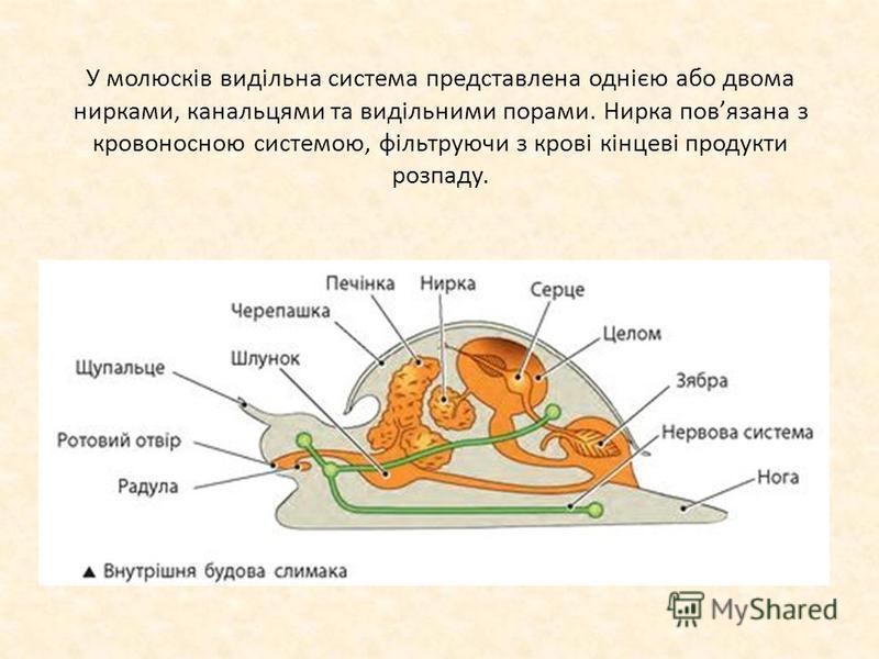 У молюсків видільна система представлена однією або двома нирками, канальцями та видільними порами. Нирка повязана з кровоносною системою, фільтруючи з крові кінцеві продукти розпаду.