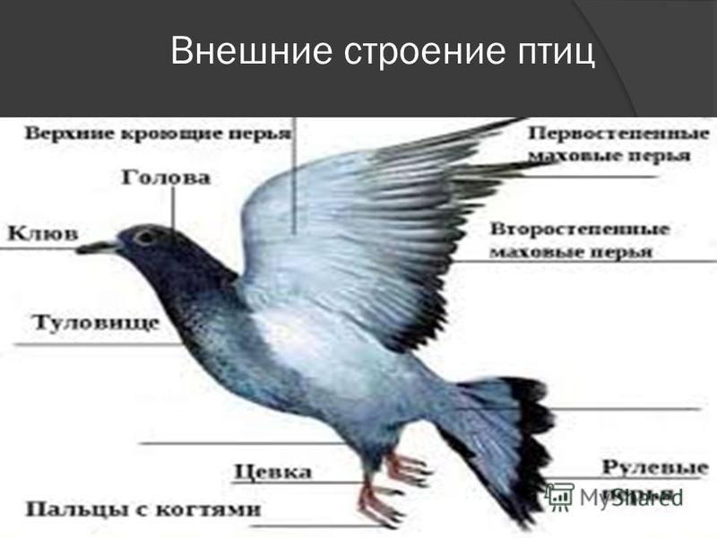 Внешние строение птиц