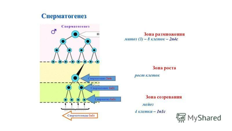 Сперматогенез Сперматогенез Зона размножения митоз (3) – 8 клеток – 2n4c Зона роста рост клеток Зона созревания мейоз 4 клетки – 1n1c Сперматоцит 2n4c Сперматоцит 1n2c Сперматид 1n1c Сперматозоиды 1n1c
