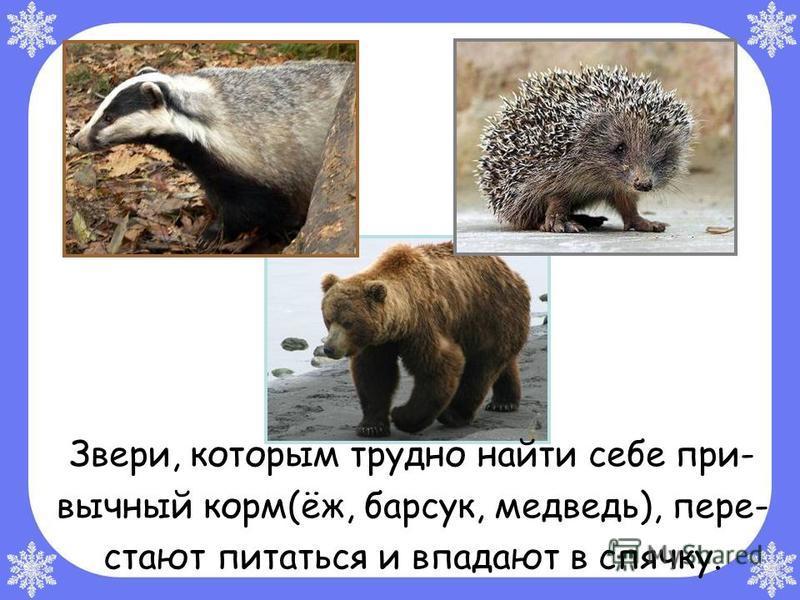 Звери, которым трудно найти себе привычный корм(ёж, барсук, медведь), пере- стают питаться и впадают в спячку.