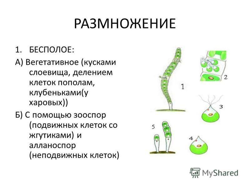 РАЗМНОЖЕНИЕ 1.БЕСПОЛОЕ: А) Вегетативное (кусками слоевища, делением клеток пополам, клубеньками(у харовых)) Б) С помощью зооспор (подвижных клеток со жгутиками) и алланоспор (неподвижных клеток)