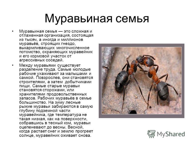Муравьиная семья Муравьиная семья это сложная и отлаженная организация, состоящая из тысяч, а иногда и миллионов муравьёв, строящих гнездо, выкармливающих многочисленное потомство, охраняющих муравейник и его кормовой участок от агрессивных соседей.