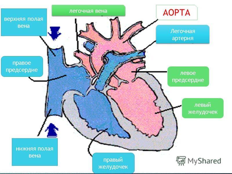 правый желудочек правое предсердие левый желудочек левое предсердие нижняя полая вена верхняя полая вена легочная вена АОРТА Легочная артерия