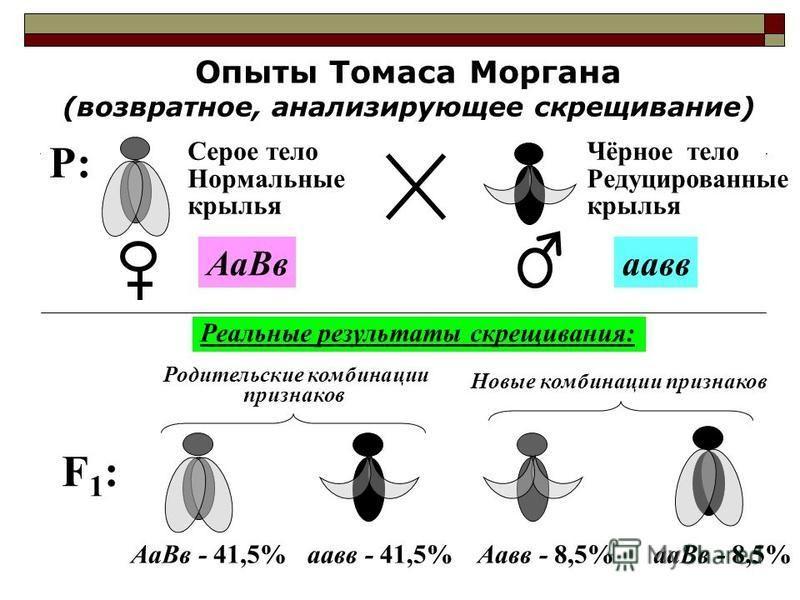 Опыты Томаса Моргана (возвратное, анализирующее скрещивание) F1:F1: Аавв - 8,5%аа Вв - 8,5% Новые комбинации признаков P:P: Серое тело Нормальные крылья Чёрное тело Редуцированные крылья Аа Ввпав Реальные результаты скрещивания: Родительские комбинац