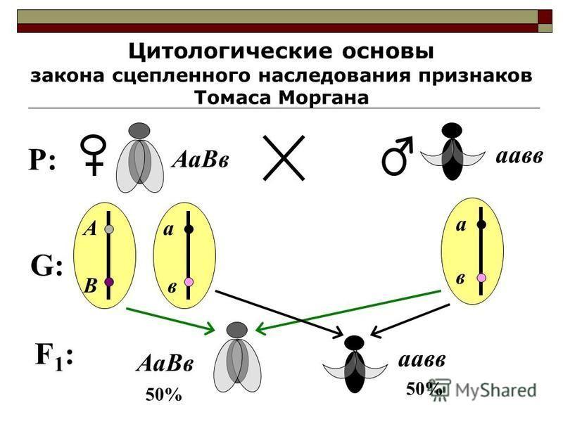 Цитологические основы закона сцепленного наследования признаков Томаса Моргана P:P: Аа Вв пав А В а в а в G:G: F1:F1: Аа Вв пав 50%