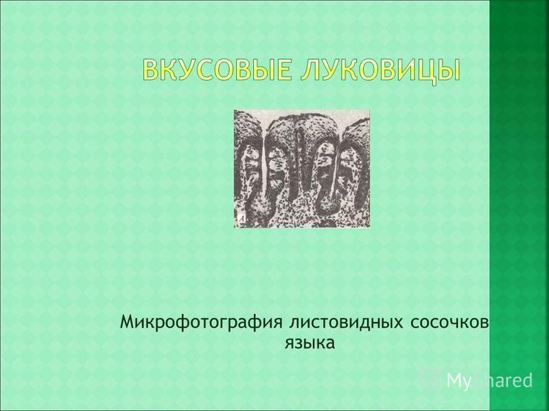 Микрофотография листовидных сосочков языка