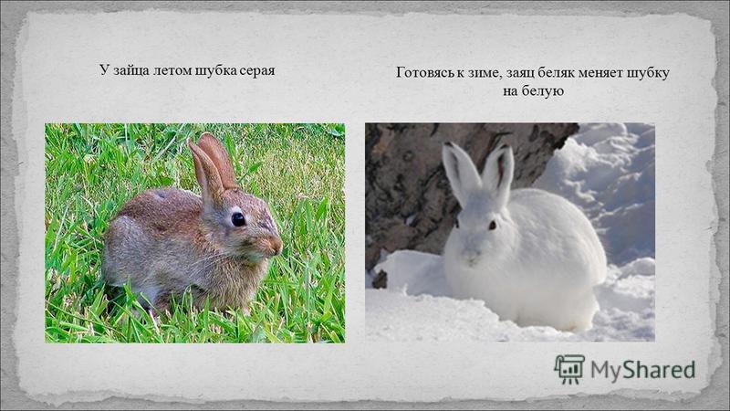 У зайца летом шубка серая Готовясь к зиме, заяц беляк меняет шубку на белую