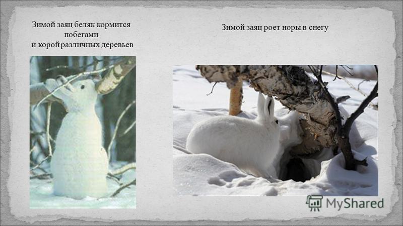 Зимой заяц беляк кормится побегами и корой различных деревьев Зимой заяц роет норы в снегу