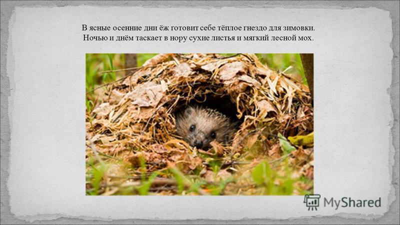 В ясные осенние дни ёж готовит себе тёплое гнездо для зимовки. Ночью и днём таскает в нору сухие листья и мягкий лесной мох.
