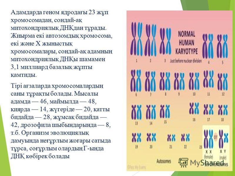Адамдарда геном ядродағы 23 жұп хромосомадан, сондай-ақ митохондриялық ДНҚдан тұрады. Жиырма екі автозомдық хромосома, екі және Х жыныстық хромосомалары, сондай-ақ адамның митохондриялық ДНҚы шамамен 3,1 миллиард базалық жұпты қамтиды. Тірі ағзаларда
