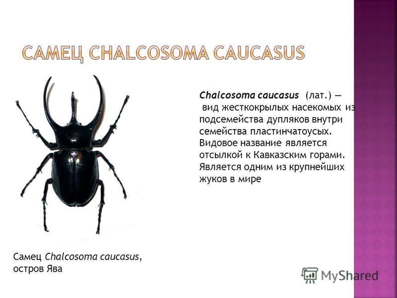 Самец Chalcosoma caucasus, остров Ява Chalcosoma caucasus (лат.) вид жесткокрылых насекомых из подсемейства дупляков внутри семейства пластинчатоусых. Видовое название является отсылкой к Кавказским горами. Является одним из крупнейших жуков в мире