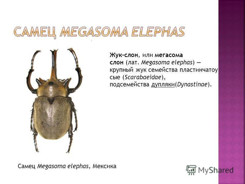 Самец Megasoma elephas, Мексика Жук-слон, или мегасома слон (лат. Megasoma elephas) крупный жук семейства пластинчатоусые (Scarabaeidae), подсемейства дуплянки(Dynastinae).