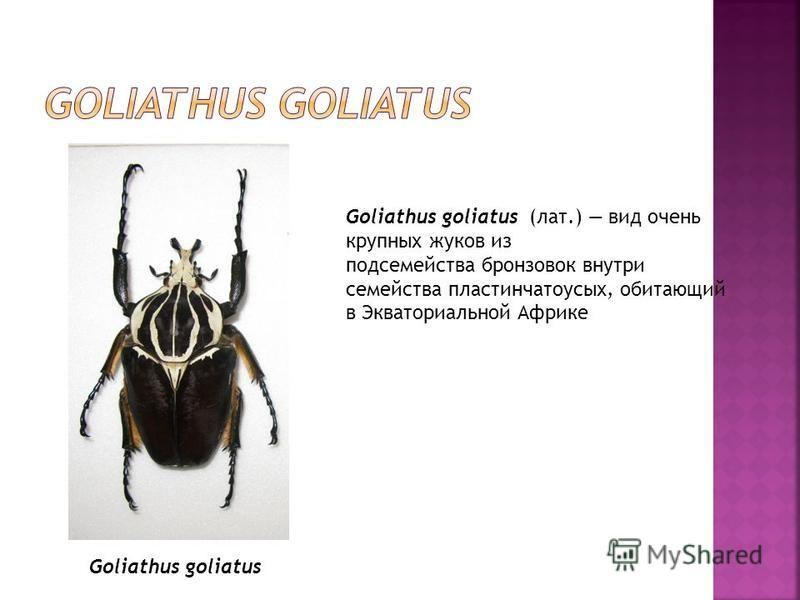Goliathus goliatus (лат.) вид очень крупных жуков из подсемейства бронзовок внутри семейства пластинчатоусых, обитающий в Экваториальной Африке Goliathus goliatus