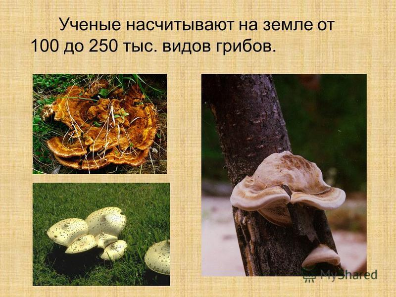 Ученые насчитывают на земле от 100 до 250 тыс. видов грибов.