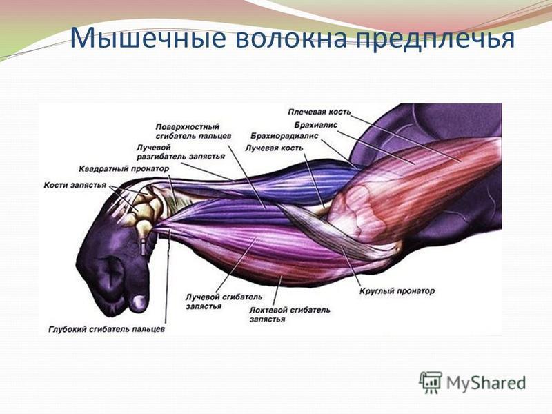Мышечные волокна предплечья