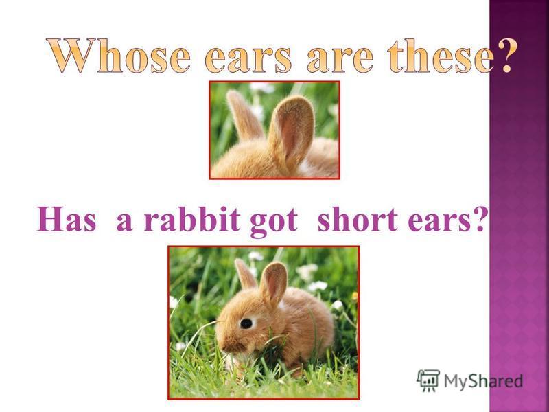 Has a rabbit got short ears?