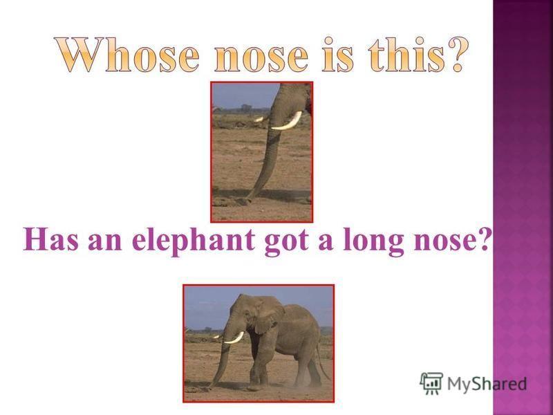 Has an elephant got a long nose?
