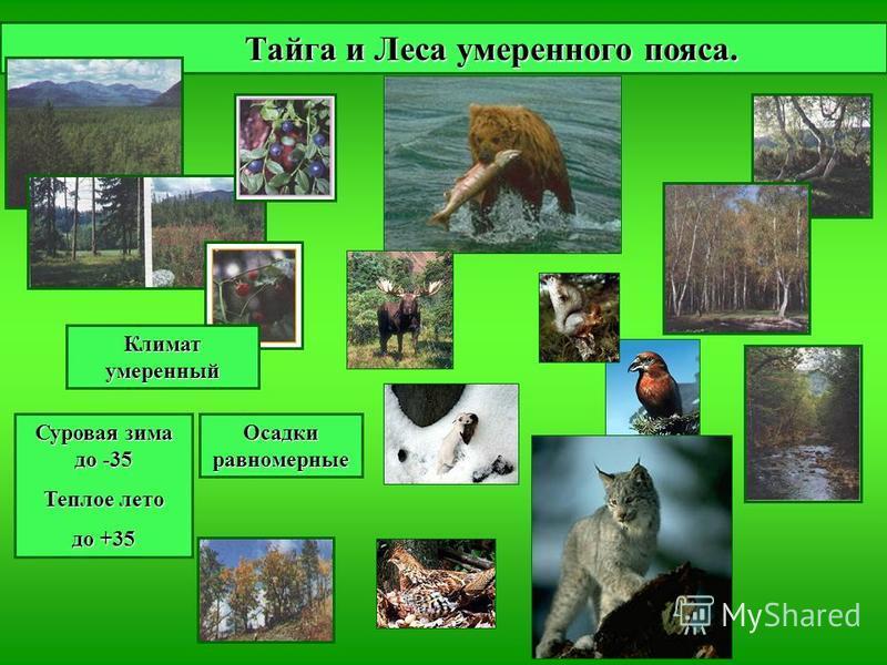 Тайга и Леса умеренного пояса. Тайга и Леса умеренного пояса. Климат умеренный Суровая зима до -35 Теплое лето до +35 Осадки равномерные
