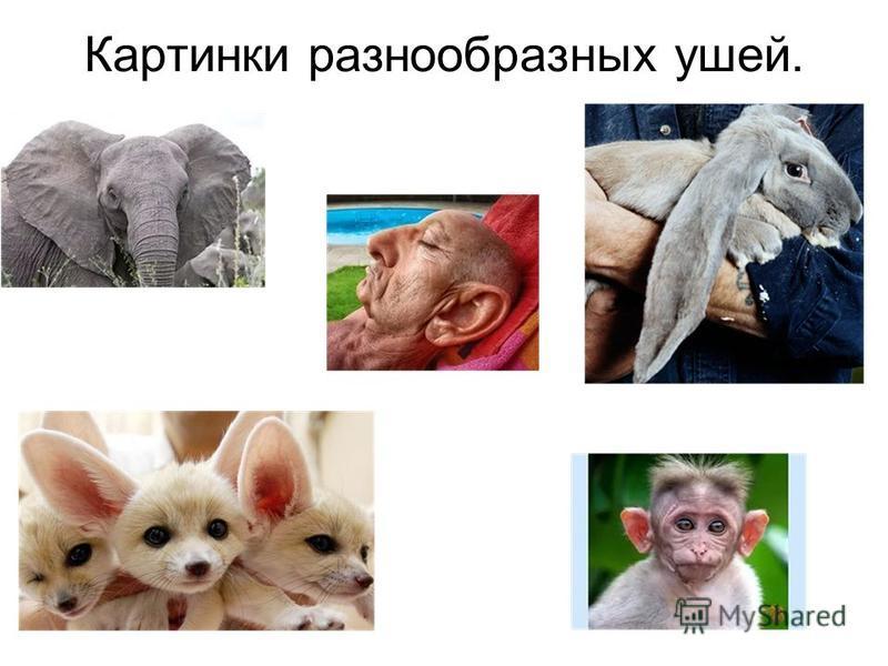 Картинки разнообразных ушей.