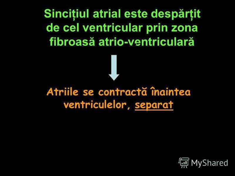 Sinciţiul atrial este despărţit de cel ventricular prin zona fibroasă atrio-ventriculară Atriile se contractă înaintea ventriculelor, separat