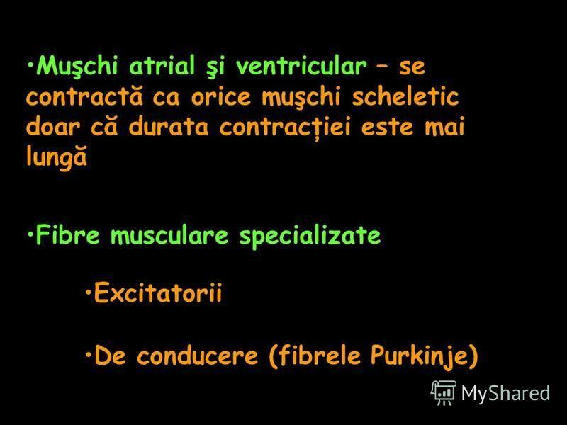 Muşchi atrial şi ventricular – se contractă ca orice muşchi scheletic doar că durata contracţiei este mai lungă Fibre musculare specializate Excitatorii De conducere (fibrele Purkinje)