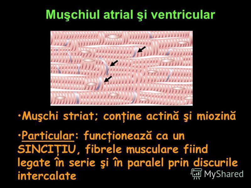 Muşchiul atrial şi ventricular Muşchi striat; conţine actină şi miozină Particular: funcţionează ca un SINCIŢIU, fibrele musculare fiind legate în serie şi în paralel prin discurile intercalate