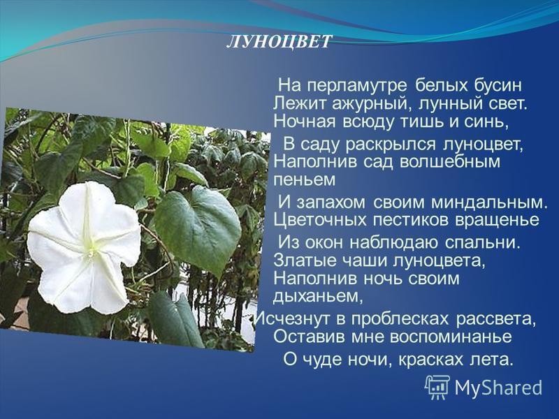 ЛУНОЦВЕТ На перламутре белых бусин Лежит ажурный, лунный свет. Ночная всюду тишь и синь, В саду раскрылся луноцвет, Наполнив сад волшебным пеньем И запахом своим миндальным. Цветочных пестиков вращенье Из окон наблюдаю спальни. Златые чаши луноцвета,
